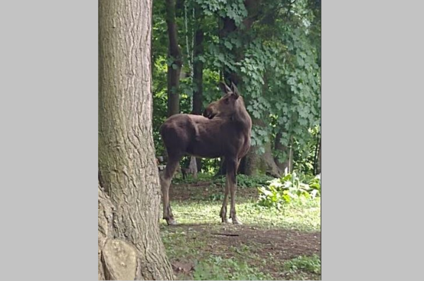 Moose Found Roaming City of Gloversville